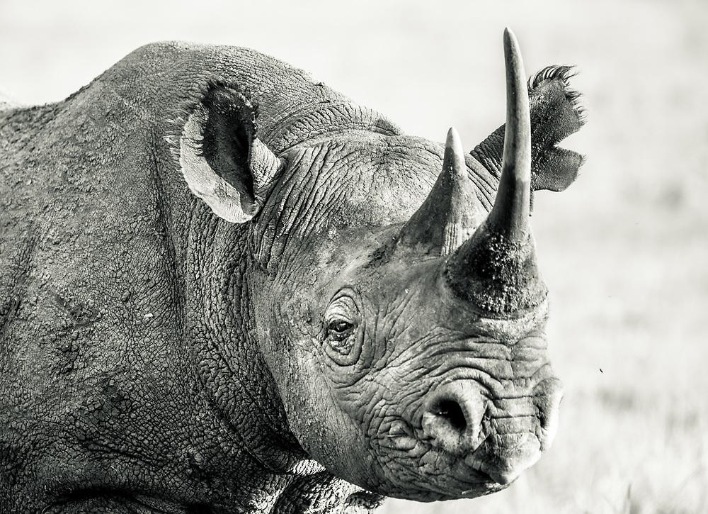 Portrait of a Critically Endangered Black Rhino