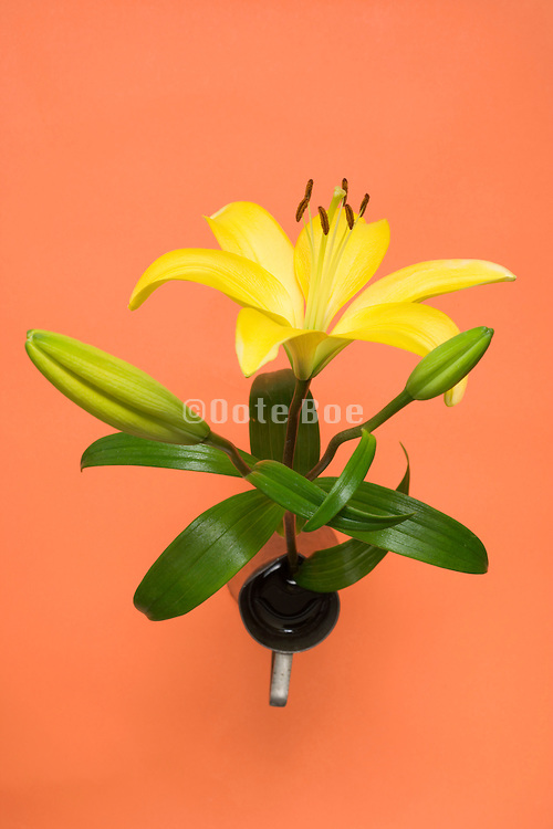 yellow Lily flower on a orange background seen from above