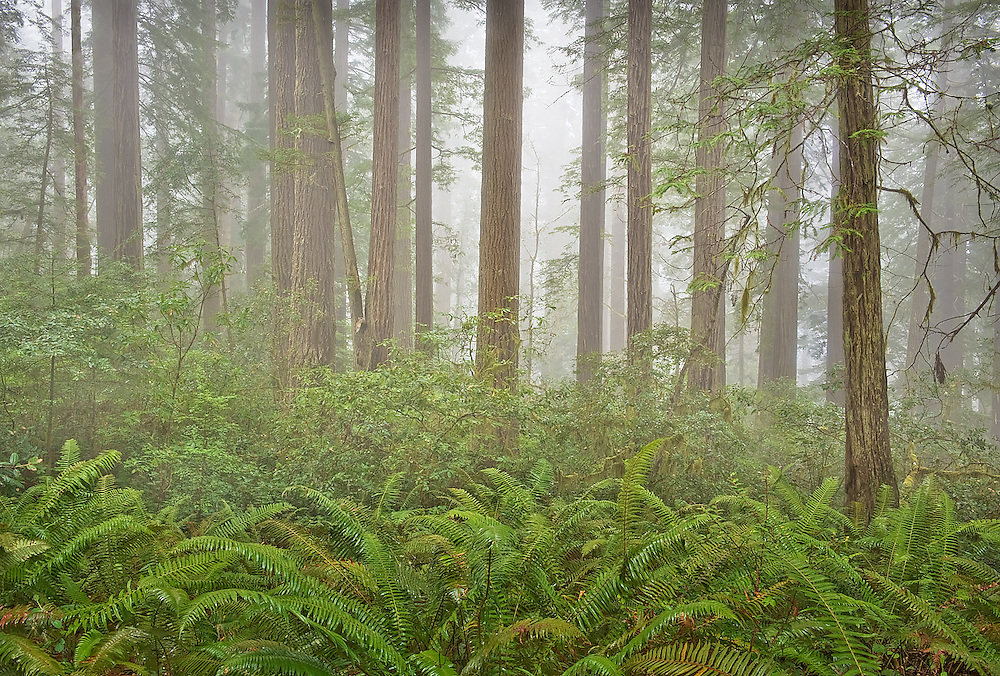 Fog adds a sense of delicate aesthetics to any scene. However, waiting for such conditions can be a test of perseverance. I had to make several trips before encountering settings ideal for making this photograph. ENCHANTED FOREST was made at Redwood National Park in California.