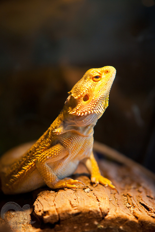 A female bearded dragon poses on a log against a dark background.