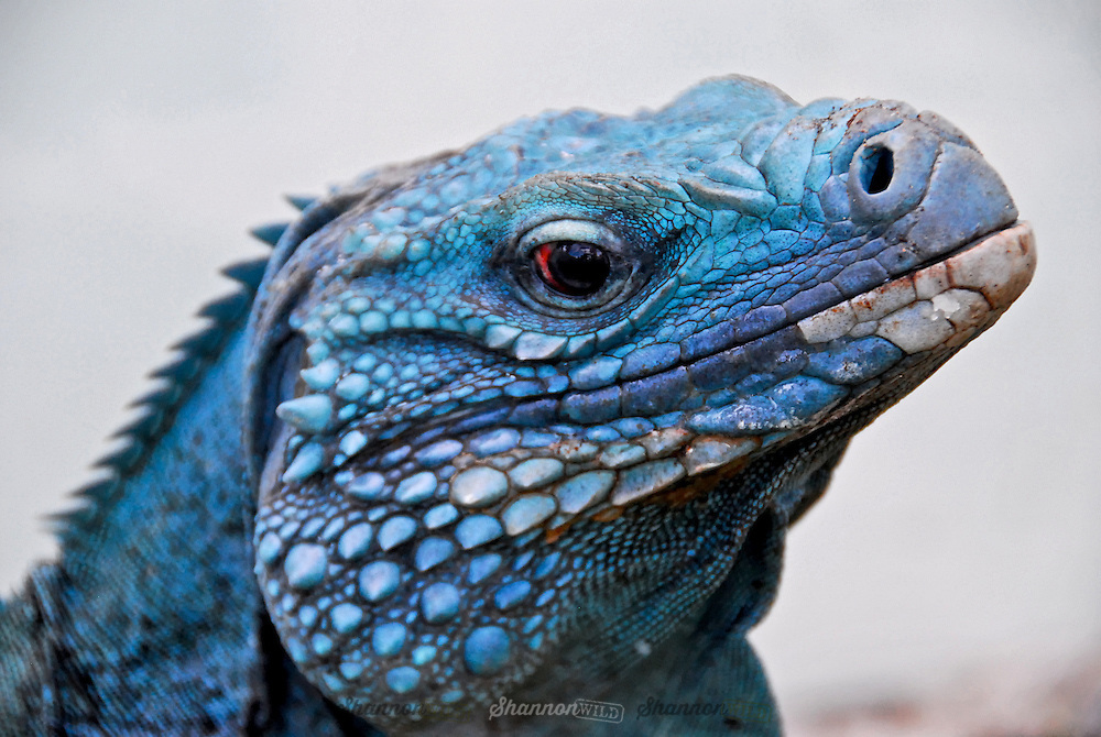 The  Grand Cayman Blue Iguana (Cyclura lewisi) is a critically endangered species of lizard endemic to the island of Grand Cayman.  It is the largest native land animal on Grand Cayman with a total nose-to-tail length of 5 ft (1.5 m) and weighing as much as 30 lb (14 kg).