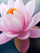 Nymphaea 'Caroliniana Perfecta' - waterlily