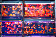 Goldfish at the Bird & Insect Market in Shanghai, China