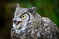 The great horned owl (Bubo virginianus), also known as the tiger owl or the hoot owl, is a large owl native to the Americas. It is an extremely adaptable bird with a vast range and is the most widely distributed true owl in the Americas.