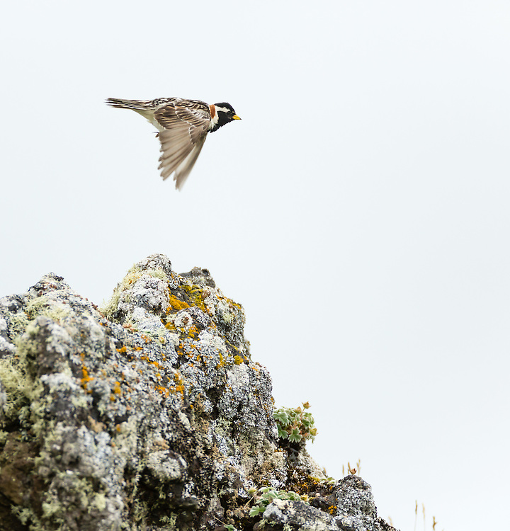 Lapland Longspur (Calcarius lapponicus) flying from perch on boulder on St. Paul Island in Southwest Alaska. Summer. Afternoon.