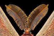 Antenna /antennae  of a small Emperor Moth (Saturnia pavoniella). Male moths have comb-like feathery antennae. Due to this increase in surface area, the sensitivity of the olfactory organ is significantly increased. Each antennae is covered with hundreds of fine hairs, which are located on the olfactory receptors. In this way mating pheromones can be detected at large distances emitted by females. Studio, Goose, Germany. / Fuehler/Antennen eines kleinen Nachtpfauenauges (Saturnia pavoniella). Maennliche Falter besitzen kammartig gefiederte Antennen. Durch diese Oberflaechenvergroesserung wird die Empfindlichkeit des olfaktorischen Organs deutlich erhoeht. Jeder Fuehler ist mit hunderten feiner Haare bedeckt, auf denen sich die Geruchsrezeptoren befinden. Auf diese Weise koennen von paarungsbereiten Weibchen abgegebene Pheromone auf grosse Distanzen erkannt werden. Studio, Goosefeld, Deutschland.