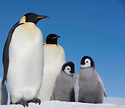 Two Emperor penguins standing with a group of chicks.