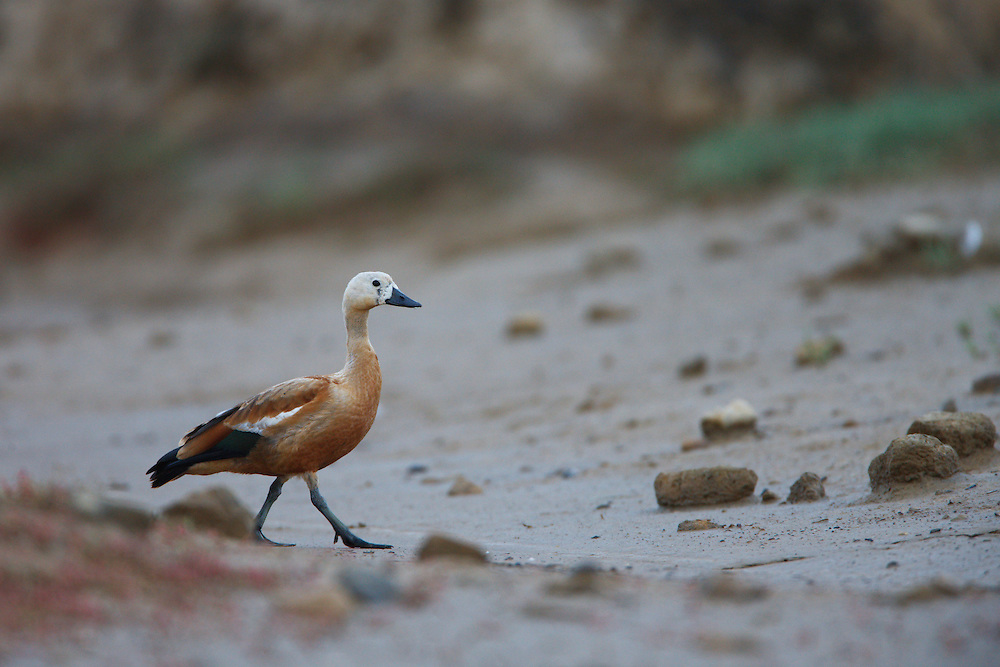 Ruddy Shelduck on a dry stream, Bagerova Steppe, Kerch Peninsula, Crimea, Ukraine