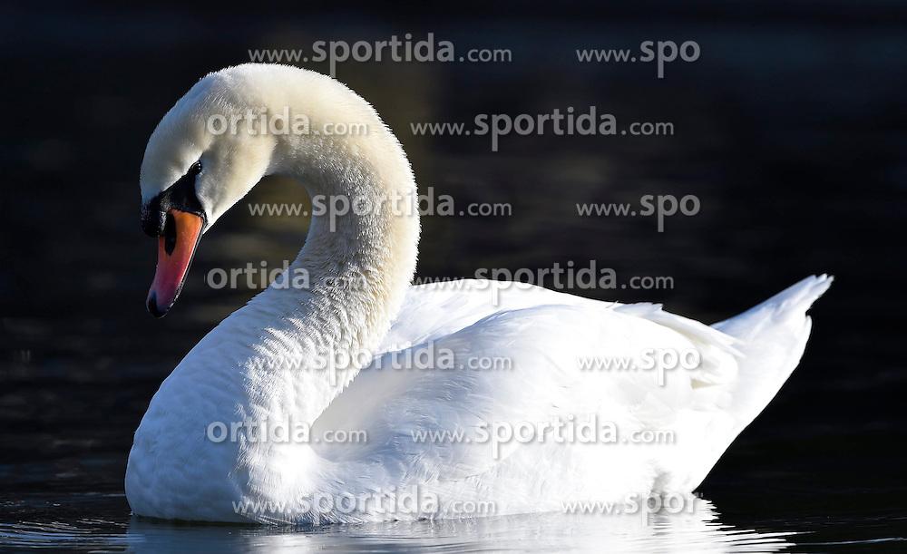 THEMENBILD - der H&ouml;ckerschwan (Cygnus olor) ist eine Vogelart, die innerhalb der Entenv&ouml;gel zur Gattung der Schw&auml;ne und zur Unterfamilie der G&auml;nse geh&ouml;rt. Als halbdomestizierter Vogel ist er heute in weiten Bereichen Mitteleuropas beheimatet. // The Mute Swan is a species belonging to the genus within the ducks and swans to the subfamily of geese. As halbdomestizierter bird he is today located in large areas of Central Europe, pictured in Stuttgart, Germany on 2015/03/08. EXPA Pictures &copy; 2015, PhotoCredit: EXPA/ Eibner-Pressefoto/ Weber<br /> <br /> *****ATTENTION - OUT of GER*****