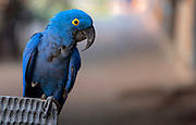 Hyacinth macaw (Anodorhynchus hyacinthinus) from Araras Ecolodge, Pantanal, Brazil.