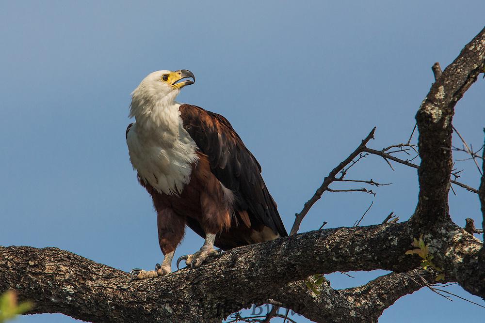 Fish eagle in Chobe National Park, Botswana.