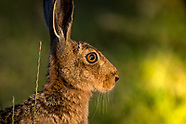 Wight Hares