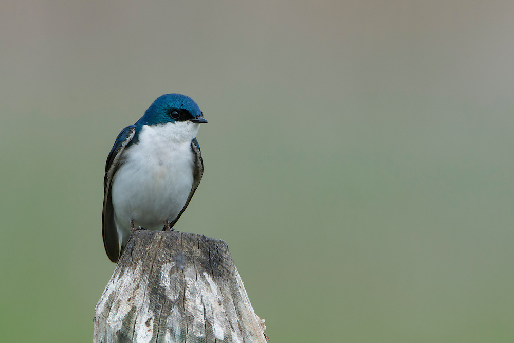 A perched male tree swallow (Tachycineta bicolor), Lee Metcalf National Wildlife Refuge, Montana