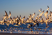 Sea birds along the beach on Sullivan's Island, SC.