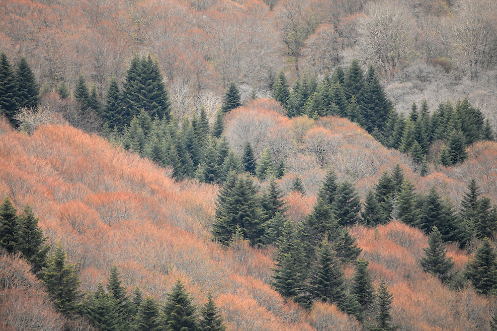 Trees with patel colors and first green,  Col de Guéry, Forêt Domaniale de Guéry, Massif d Sancy, Auvergne, France