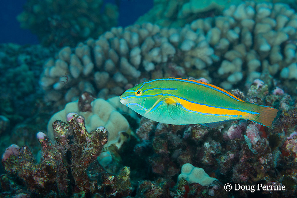 belted wrasse, green wrasse, orange-bar wrasse, or 'omaka, Stethojulis balteata ( endemic species ), terminal phase or supermale, Driftwood dive site, off Red Hill, South Kona Coast, Hawaii Island ( the Big Island ) Hawaiian Islands ( Central Pacific Ocean )