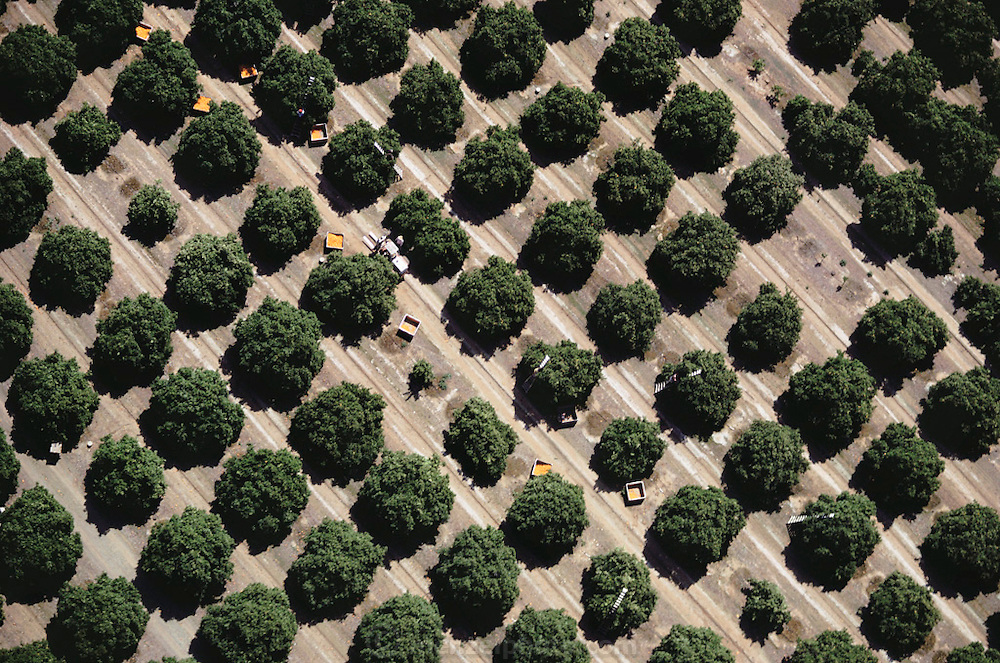 Orange harvest: Lindsay, California, USA. Oranges are picked by hand.