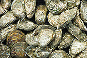 Live oysters on sale at farmer's market,  County Clare, Ireland RESERVED USE - NOT FOR DOWNLOAD -  FOR USE CONTACT TIM GRAHAM