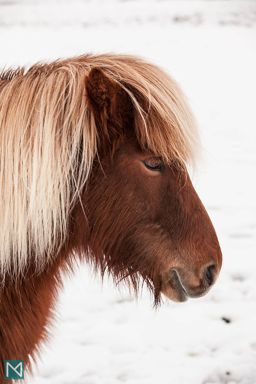 An Icelandic horse on a snowy day