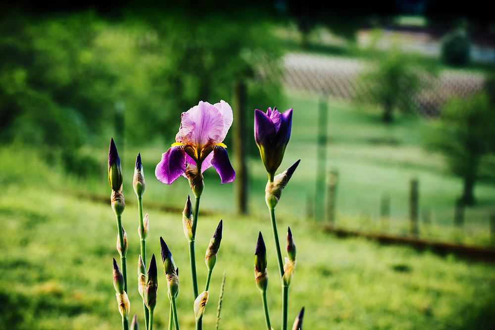 Spring Iris's in bloom at Natalie Estate Winery in Newberg, Oregon.