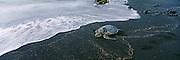 Hawksbill Turtle (Endangered species) on the beach, Punalu'u Black Sand Beach, Big Island, Hawaii, USA