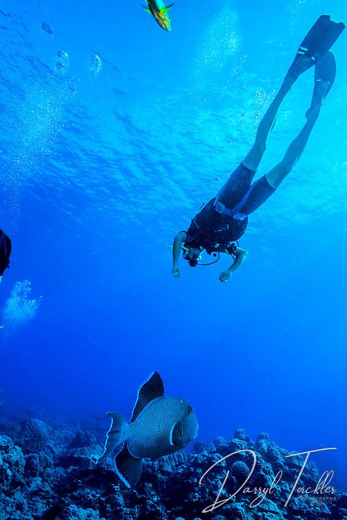 Diver and titan triggerfish at Paradise dive site. Rarotonga.