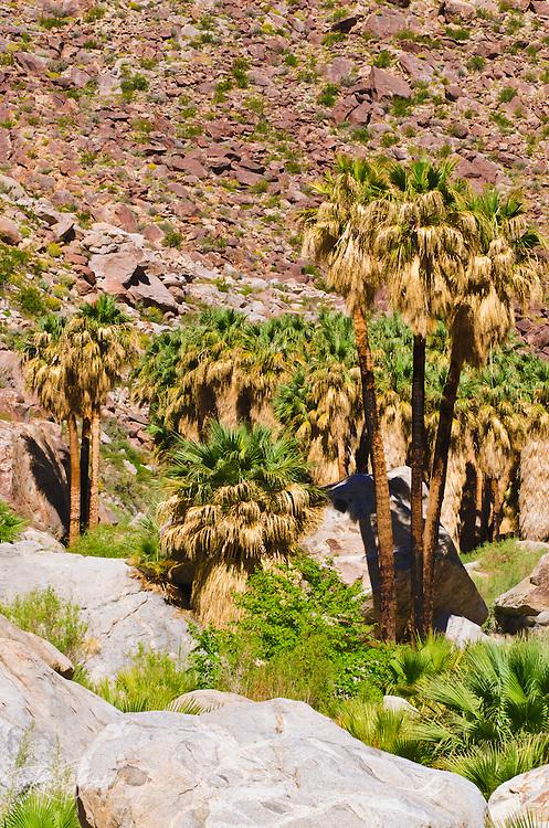 Oasis in Borrego Palm Canyon, Anza-Borrego Desert State Park, California USA