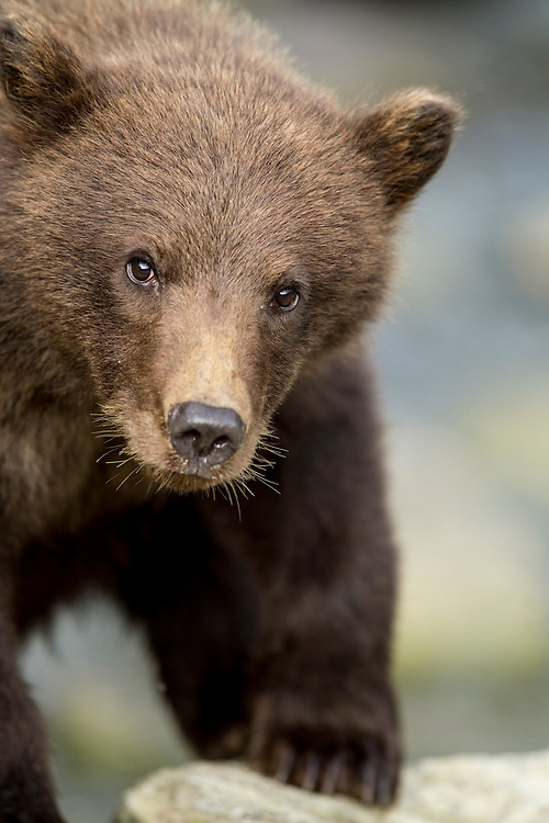 USA, Alaska, Katmai National Park, Coastal Brown Bear Spring Cub (Ursus arctos) along salmon spawning stream by Kuliak Bay
