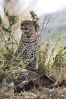 Adult female leopard thinking of hoisting the half-eaten wildbeest calf carcass up to a tree to stash it safe from other predators attack.