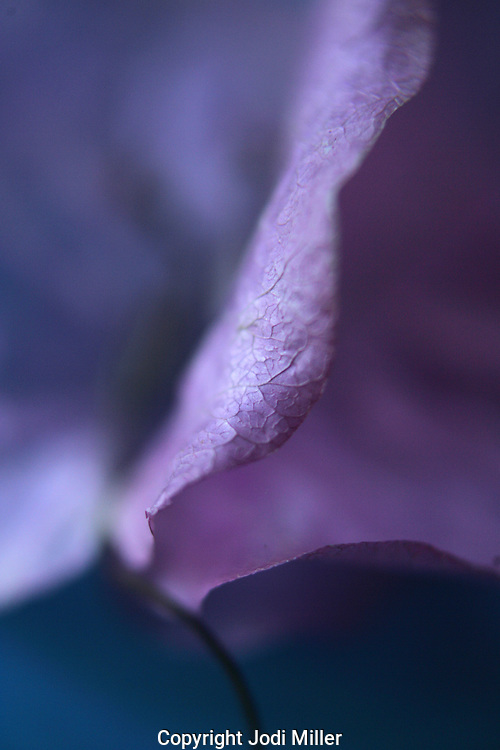 A purple desert flower on blue