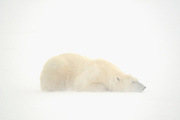 Polar Bear (Ursa maritimus) on sub-arctic Hudson Bay  lying on ice in snow blizzard<br />