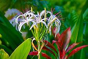 Spider lily flower, Botanical garden, Waipio Valley, Big Island of Hawaii
