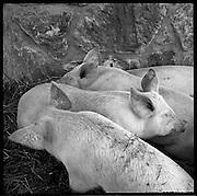 Glückliche Alpschweine! Tiergerechte Schweinehaltung in der Berglandwirtschaft, mit viel Auslauf. Schweinemast ist eine einfache Art der Verwertung von Nebenprodukten der Milchwirtschaft. Viele Bergbauern mästen auch ein paar Schweine. © Romano P. Riedo