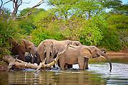 Elephant herd crosses a dam at dusk. Klaserie, South Africa