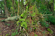 Fallen tree trunk impregnated by moss at Isla Pacheca. Las Perlas Archipelago, Panama province, Panama, Central America.