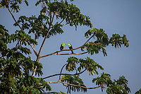A pair of keel billed toucans perching in a tree, Costa Rica, Arenal area.