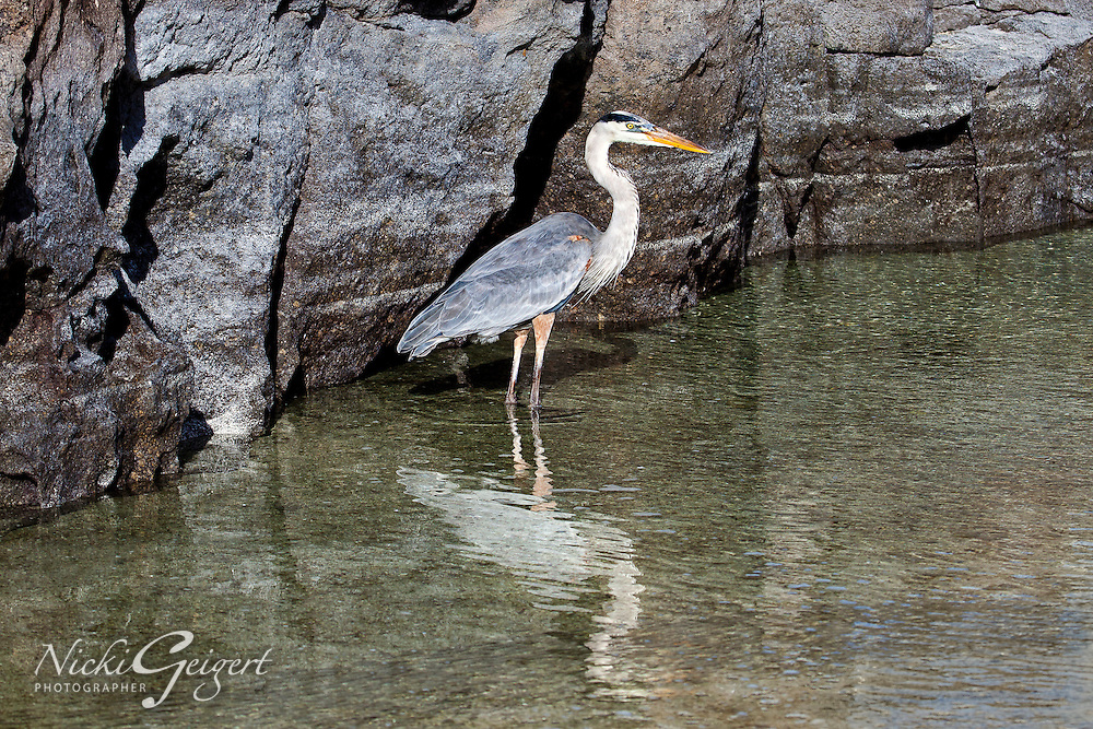 Animals, bird standing in water.<br />