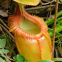 Nepenthes villosa, a high-altitude carnivorous pitcher plant endemic to Mount Kinabalu and Mount Tamboyukon in northern Borneo.