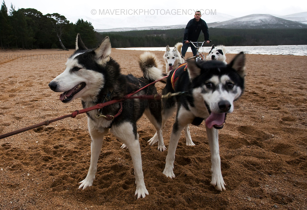 The Coldfeet and Seberian Huskey team take a practice run on the banks of Loch Morlich ahead of the  Arden Grange & Siberian Husky Club of GB Aviemore Sled Dog Rally 2009.  ..22/1/2009 Picture Michael Hughes/Maverick