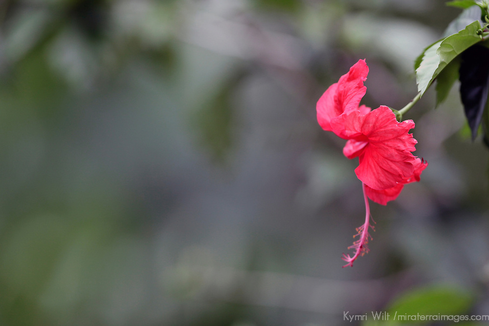 Central America, Costa Rica, Manual Antonio. Hibiscus Flower.