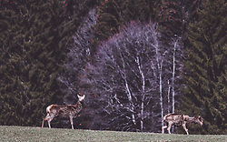 THEMENBILD - Rotwild auf einer Wiese in einem Wildtiergehege, aufgenommen am 07. März 2019 in Aurach, Oesterreich // Red deer in a meadow in a wild animal enclosure in Aurach, Austria on 2019/03/07. EXPA Pictures © 2019, PhotoCredit: EXPA/ JFK