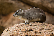 yellow-spotted rock hyrax or bush hyrax (Heterohyrax brucei). Photographed in Tanzania