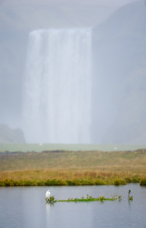 Little egret in front of Skogafoss, South Iceland, Iceland
