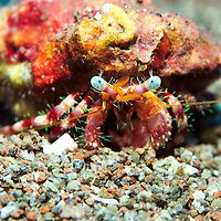 Hermit Crab closeup