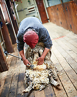 Sheep shearing demonstration at an Estancia in Patagonia. Image taken with a Nikon D3s camera and 50 mm f/1.4 lens (ISO 200, 50 mm, f/1.4, 1/320 sec).