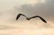 An adult Nazca booby flying over Espanola island, Galapagos islands, Ecuador.