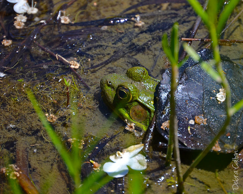 Bullfrog at Moraine State Park
