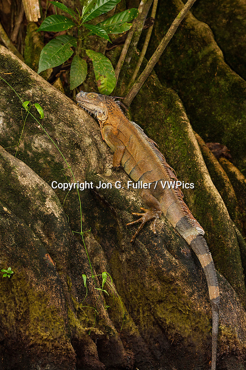 A large adult Green Iguana, Iguana iguana, on the buttresses of a bloodroot a tree in the rainforest in Tortuguero National Park, Costa Rica .