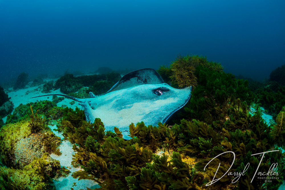 Short-tail stingray covered in white sand resting on the bottom. Arid Island. New Zealand