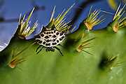 A spinybacked black and white orb weaver spider, Gasteracantha cancriformis hangs from the thorns of a prickly pear cactus.